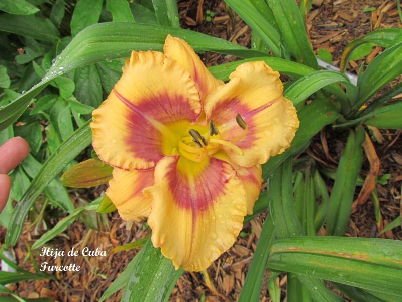 Les hémérocalles enregistrées de mon jardin - Page 3 Hija_d11