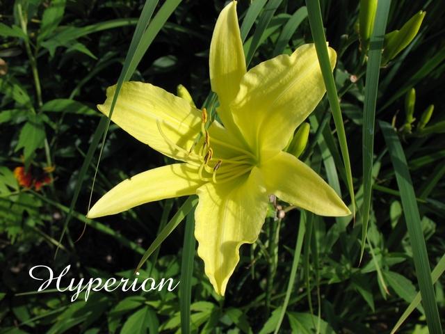 Les hémérocalles enregistrées de mon jardin - Page 3 Hyperi10