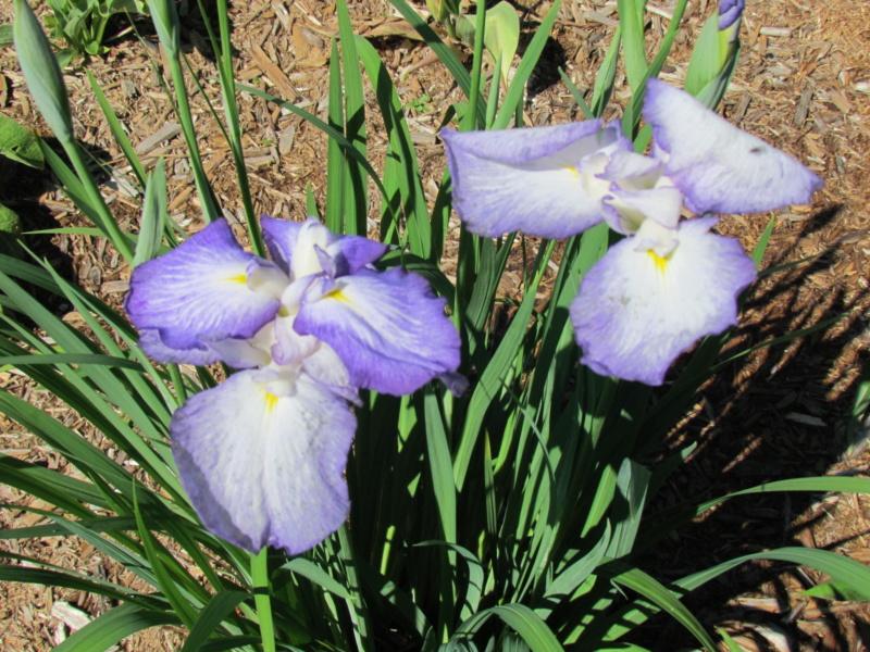 Ma collection d'iris - Page 6 I_ensa10