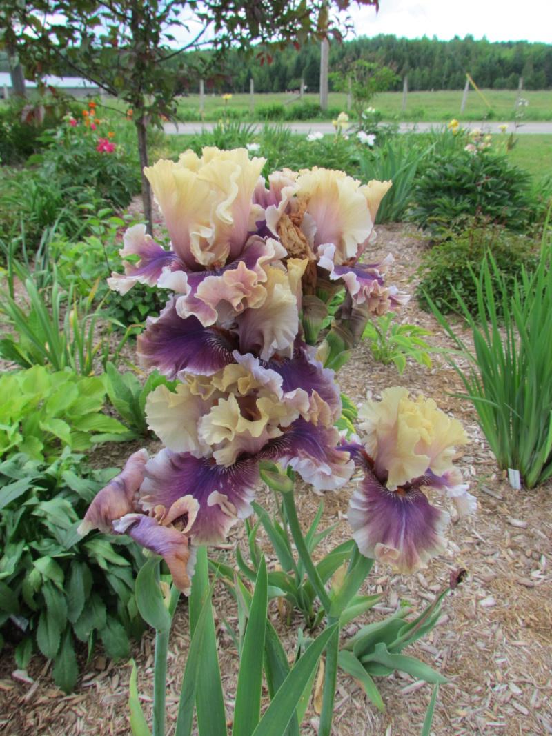 Ma collection d'iris - Page 5 I_smok10