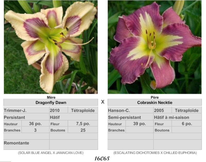 Mes hybrides / Semis 2017 à sélectionner (croisements de 2016) Ajouts photos 2019 - Page 4 J1616810