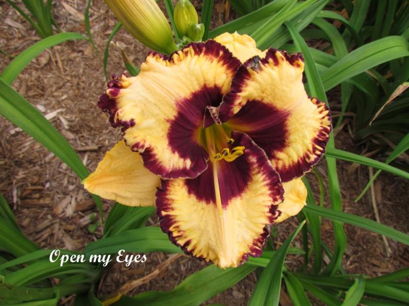 Les hémérocalles enregistrées de mon jardin - Page 6 Open_m10
