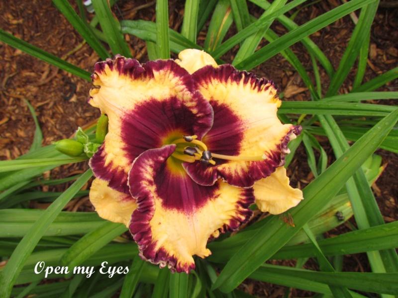 Les hémérocalles enregistrées de mon jardin - Page 6 Open_m11