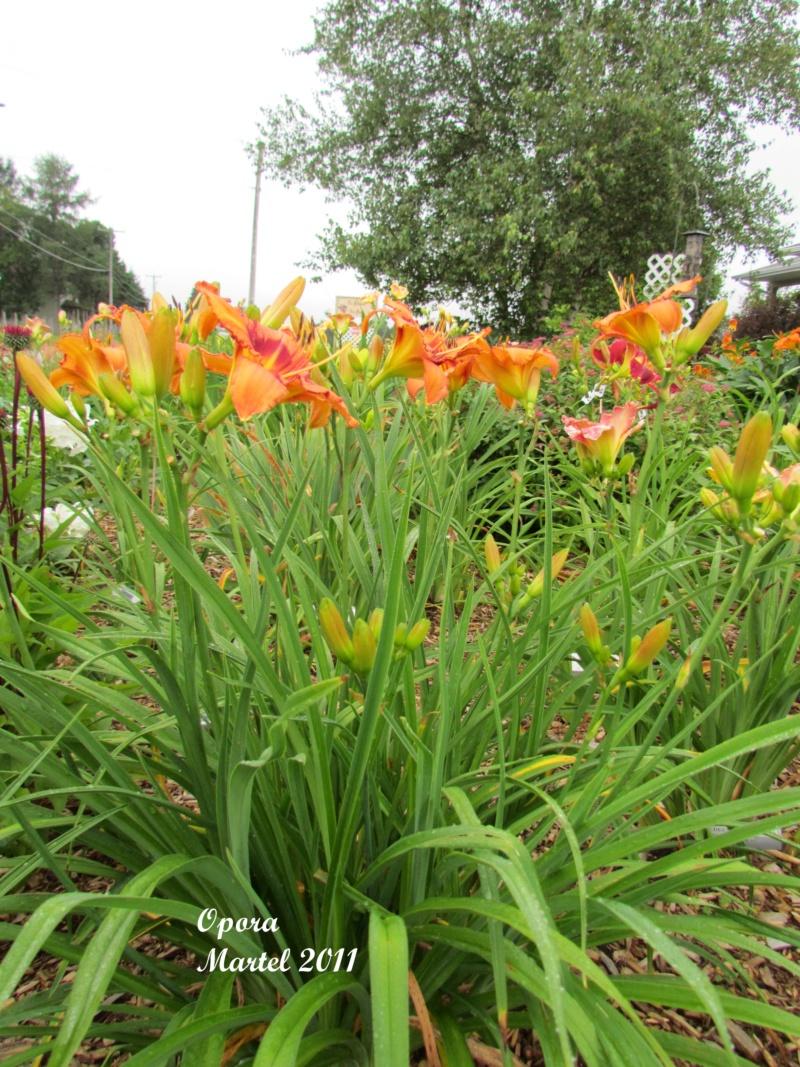 Les hémérocalles enregistrées de mon jardin - Page 6 Opora_10