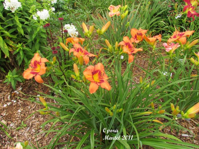 Les hémérocalles enregistrées de mon jardin - Page 6 Opora_11