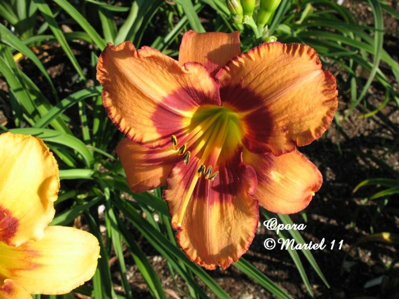 Les hémérocalles enregistrées de mon jardin - Page 6 Opora_12