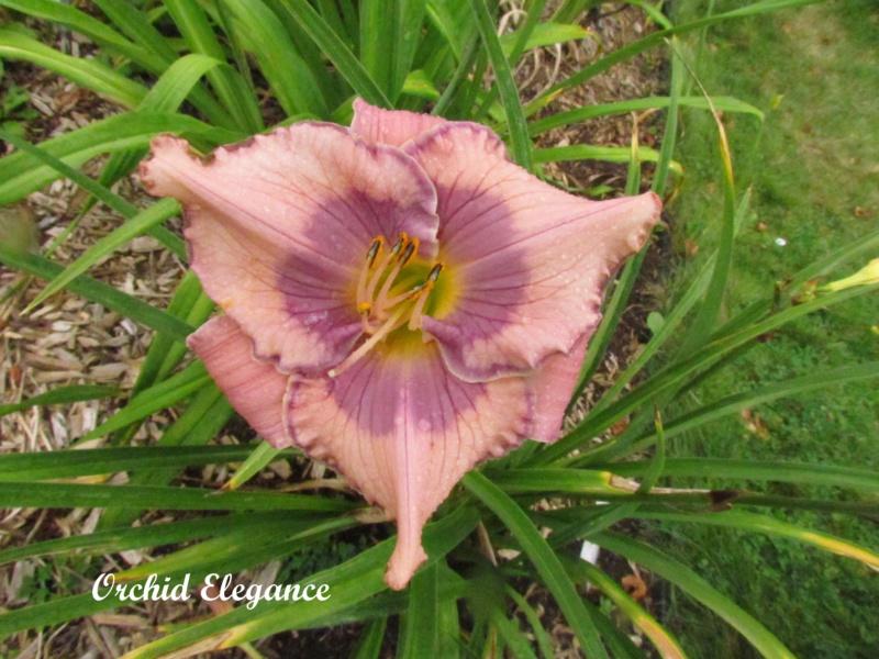 Les hémérocalles enregistrées de mon jardin - Page 6 Orchid10