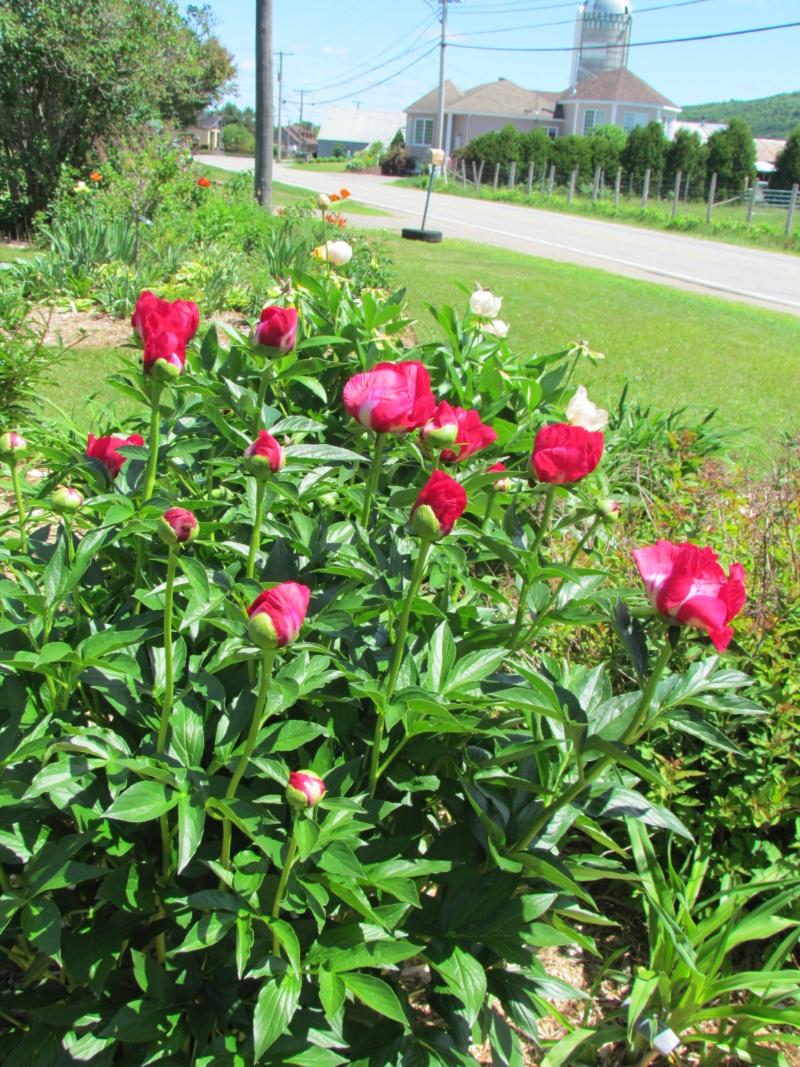 Les pivoines de mon jardin P_amer11