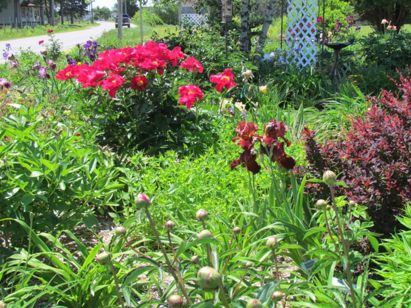 Les pivoines de mon jardin P_amer13