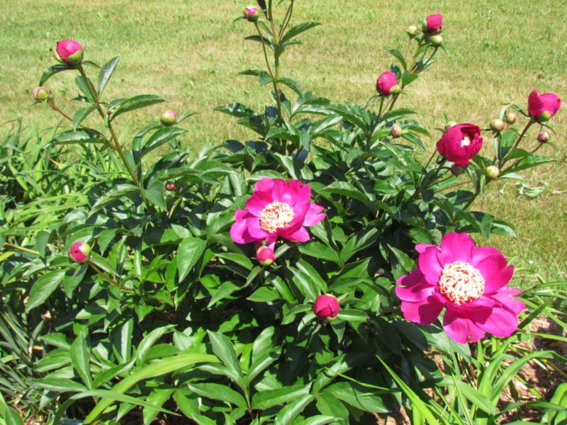Les pivoines de mon jardin P_bari12