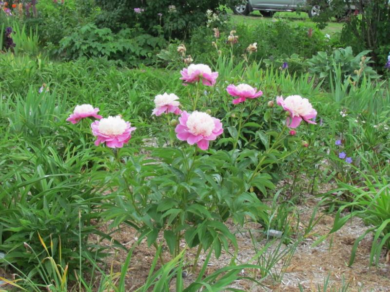 Les pivoines de mon jardin P_bowl11