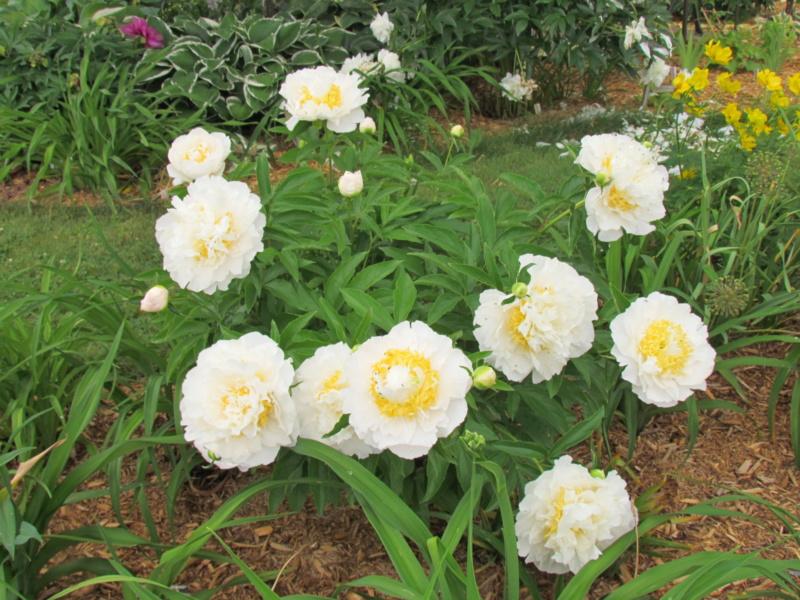 Les pivoines de mon jardin P_ched12