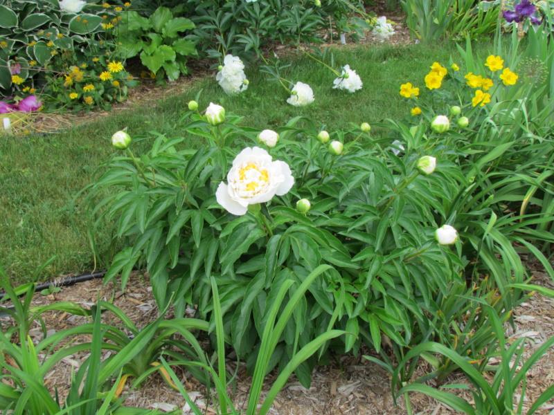 Les pivoines de mon jardin P_ched13