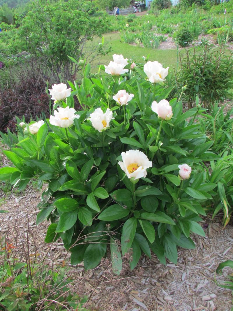 Les pivoines de mon jardin - Page 3 P_silv12