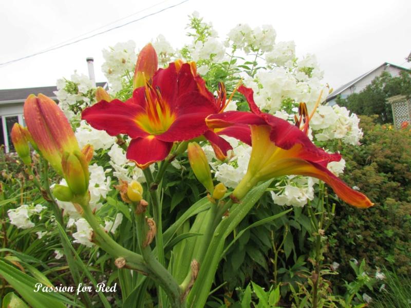 Les hémérocalles enregistrées de mon jardin - Page 6 Passio10