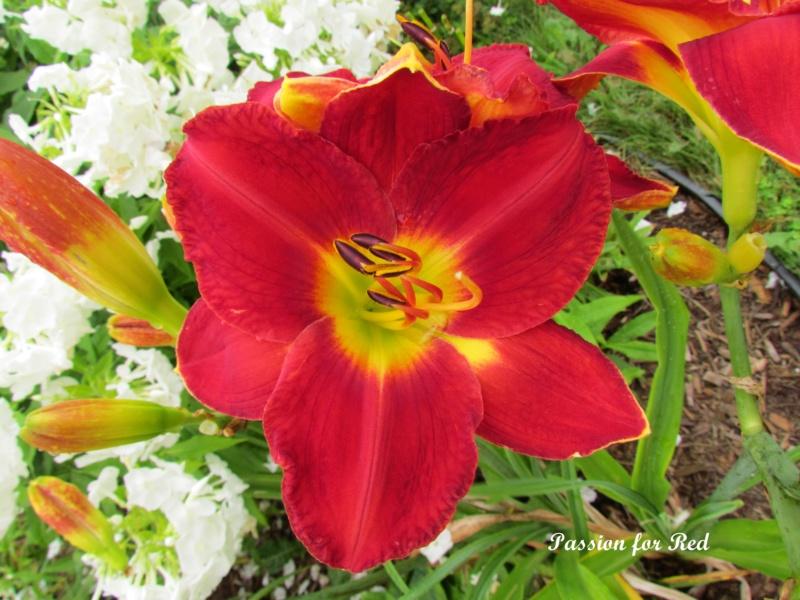 Les hémérocalles enregistrées de mon jardin - Page 6 Passio12
