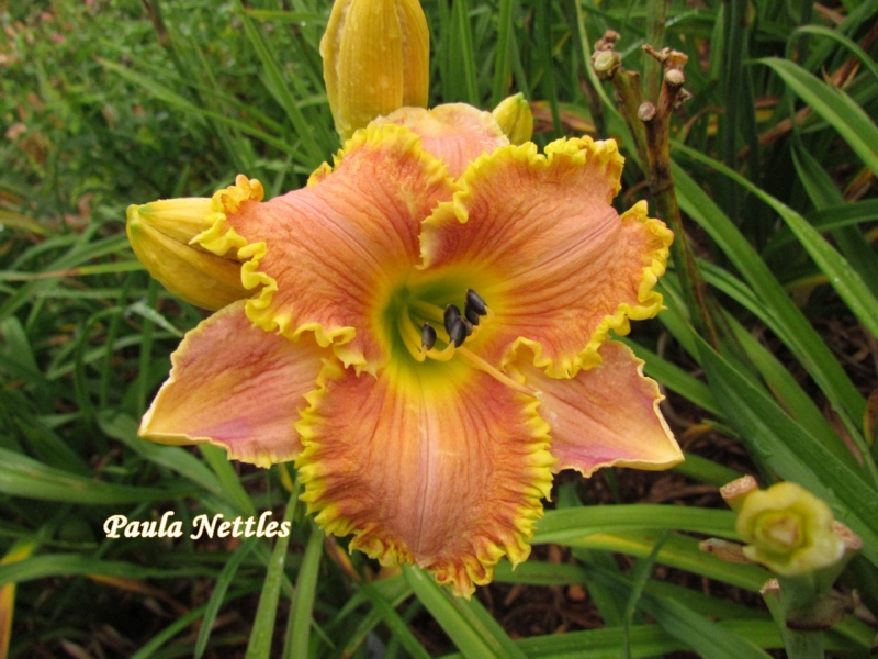 Les hémérocalles enregistrées de mon jardin - Page 6 Paula_10