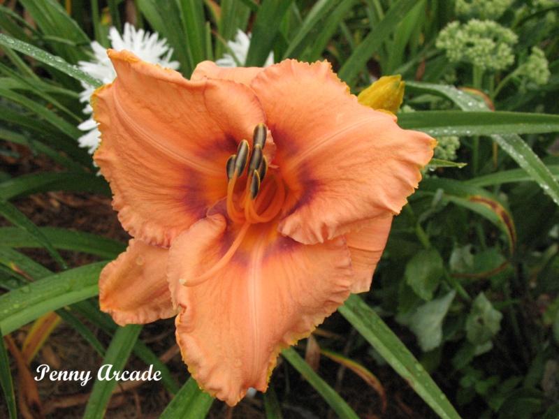Les hémérocalles enregistrées de mon jardin - Page 6 Penny_10