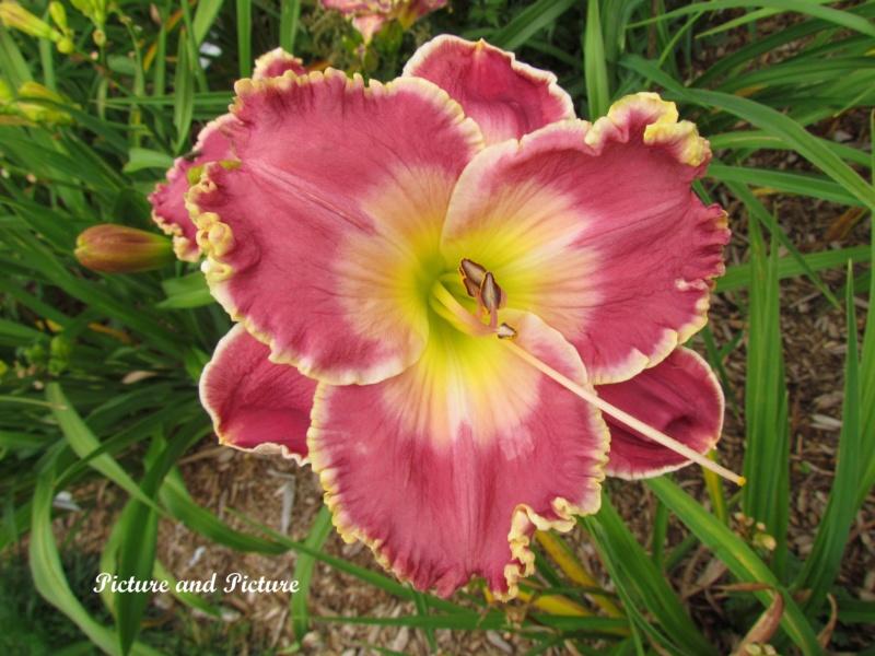 Les hémérocalles enregistrées de mon jardin - Page 6 Pictur10