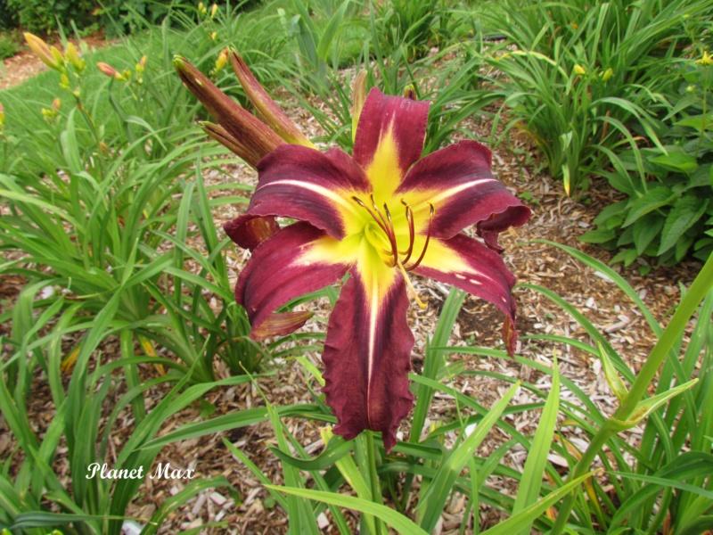 Les hémérocalles enregistrées de mon jardin - Page 6 Planet10
