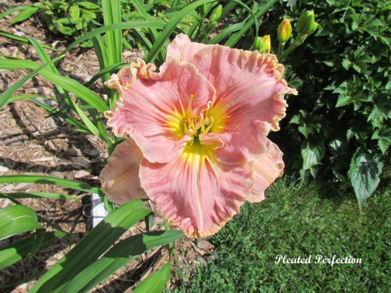 Les hémérocalles enregistrées de mon jardin - Page 6 Pleate11