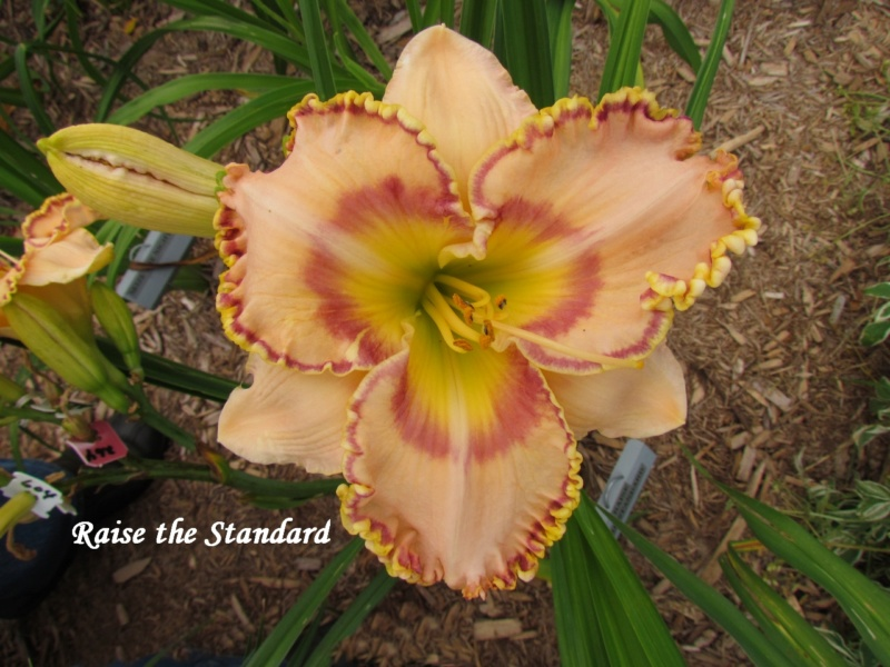 Les hémérocalles enregistrées de mon jardin - Page 6 Raise_10