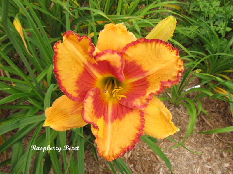 Les hémérocalles enregistrées de mon jardin - Page 6 Raspbe10