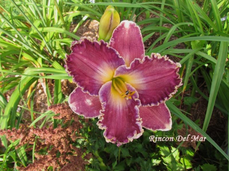 Les hémérocalles enregistrées de mon jardin - Page 6 Rincon10