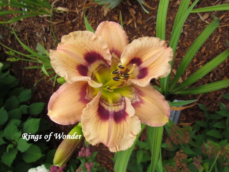 Les hémérocalles enregistrées de mon jardin - Page 6 Rings_10