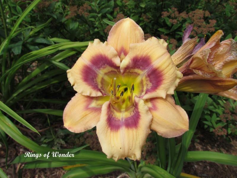 Les hémérocalles enregistrées de mon jardin - Page 6 Rings_12