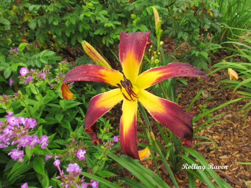 Les hémérocalles enregistrées de mon jardin - Page 6 Roling10