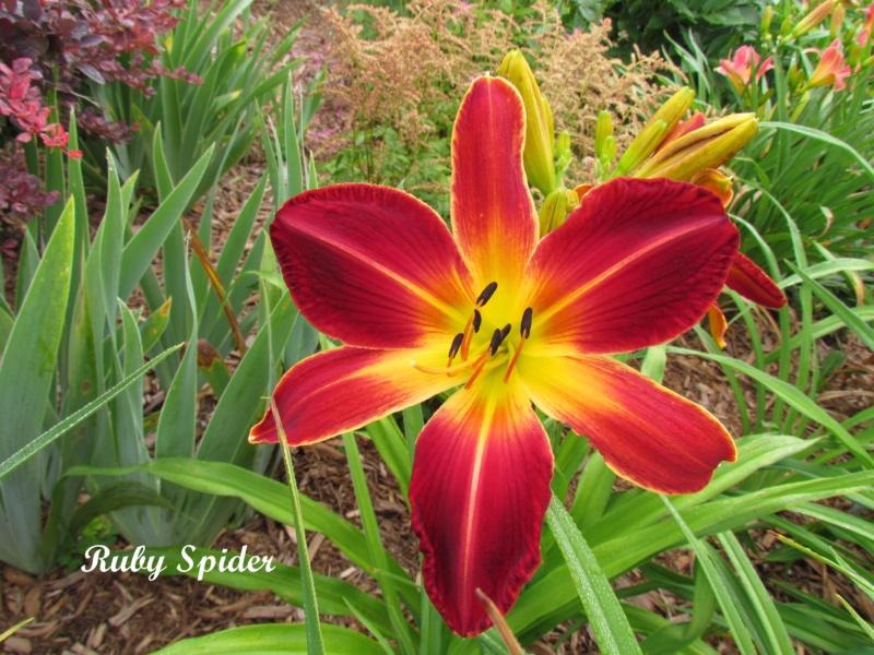 Les hémérocalles enregistrées de mon jardin - Page 6 Ruby_s10