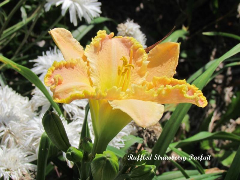 Les hémérocalles enregistrées de mon jardin - Page 6 Ruffle10