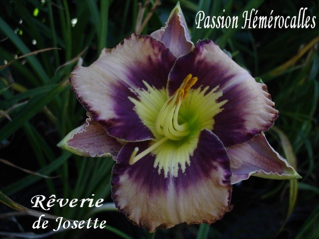 Les hémérocalles enregistrées de mon jardin - Page 6 Rzover10