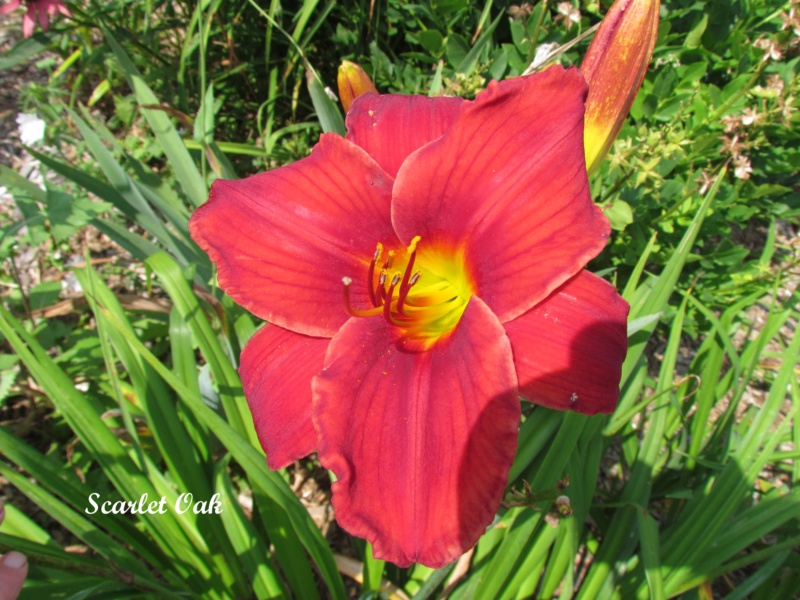 Les hémérocalles enregistrées de mon jardin - Page 6 Scarle10