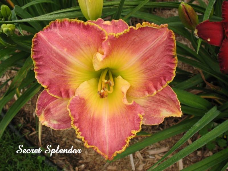 Les hémérocalles enregistrées de mon jardin - Page 6 Secret10