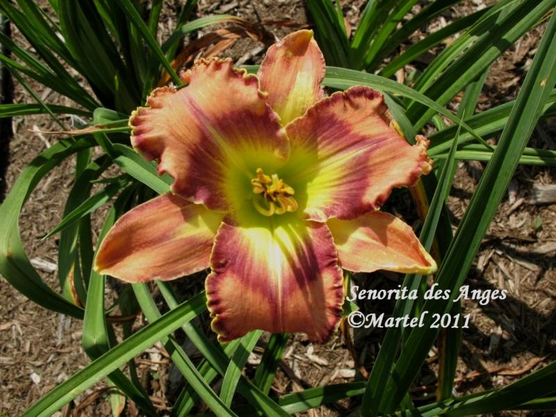 Les hémérocalles enregistrées de mon jardin - Page 6 Senori10