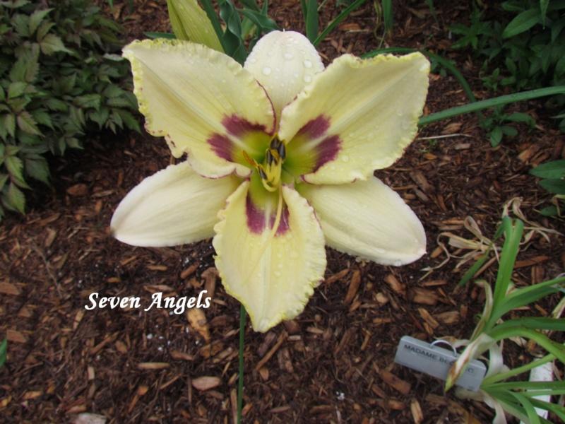 Les hémérocalles enregistrées de mon jardin - Page 6 Seven_10