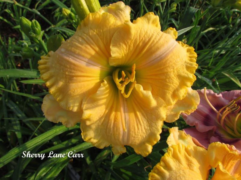 Les hémérocalles enregistrées de mon jardin - Page 6 Sherry10