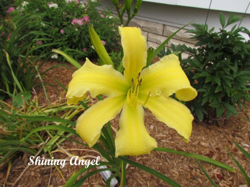 Les hémérocalles enregistrées de mon jardin - Page 6 Shinin10