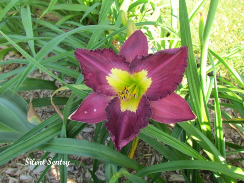 Les hémérocalles enregistrées de mon jardin - Page 6 Silent10