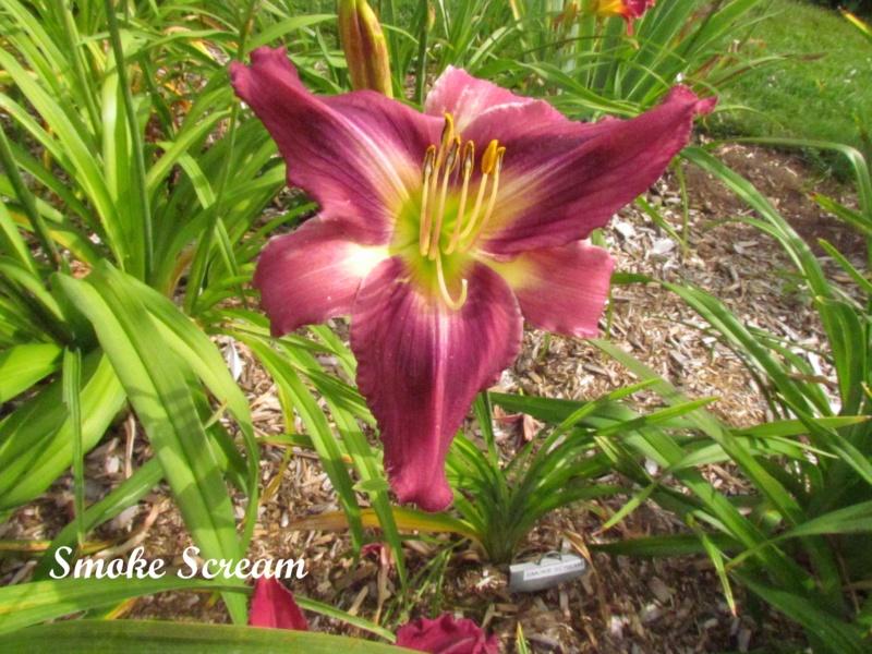 Les hémérocalles enregistrées de mon jardin - Page 6 Smoke_10