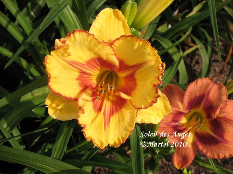 Les hémérocalles enregistrées de mon jardin - Page 6 Soleil10