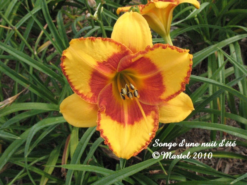Les hémérocalles enregistrées de mon jardin - Page 6 Songe_10