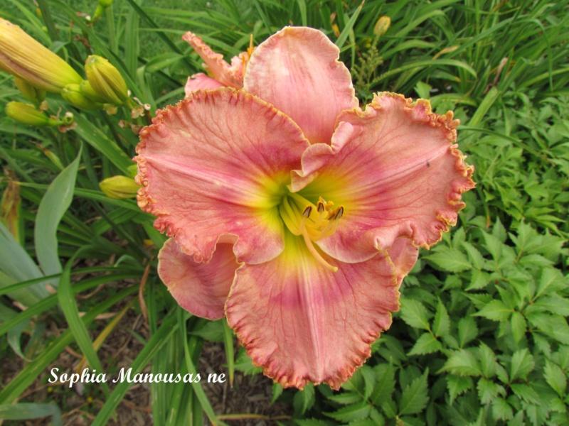 Les hémérocalles enregistrées de mon jardin - Page 6 Sophia10