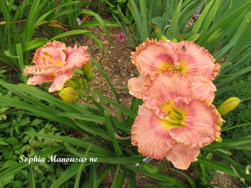 Les hémérocalles enregistrées de mon jardin - Page 6 Sophia11