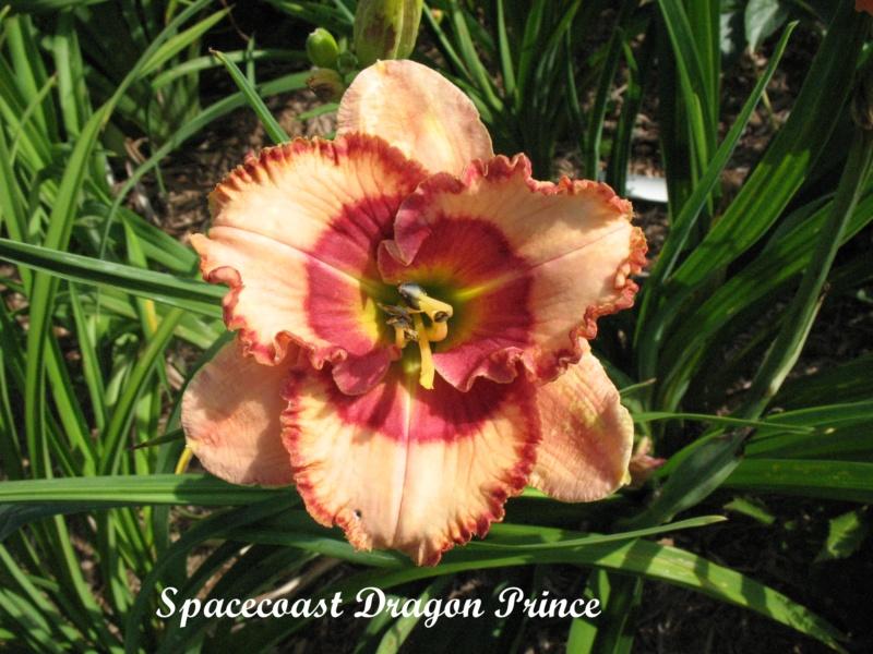 Les hémérocalles enregistrées de mon jardin - Page 6 Spacec10