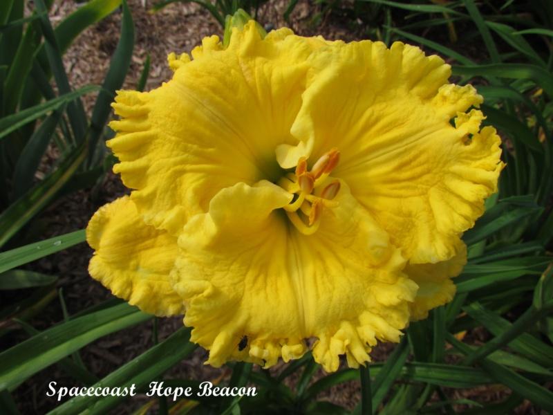 Les hémérocalles enregistrées de mon jardin - Page 6 Spacec14
