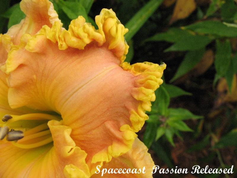 Les hémérocalles enregistrées de mon jardin - Page 6 Spacec16