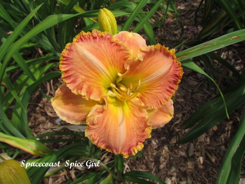 Les hémérocalles enregistrées de mon jardin - Page 6 Spacec19